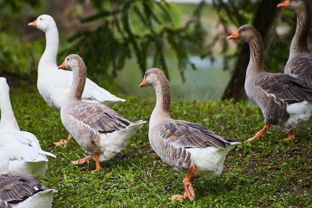 Imagem de um grupo de patos na grama branca, marrom e preta