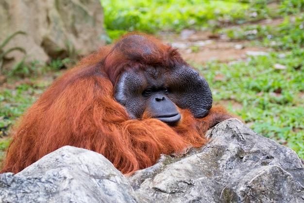 Imagem de um macaco grande laranja orangotango.