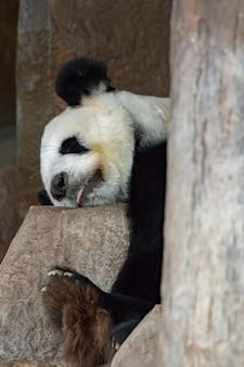 Imagem de um panda dormindo nas rochas. animais selvagens.