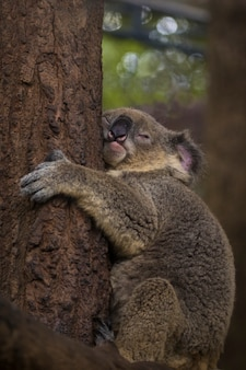 Imagem de um urso coala dormir na árvore. animais selvagens.