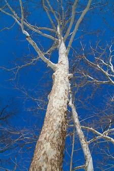 Imagem de uma árvore com casca branca e sem folhas se estende até o céu azul claro