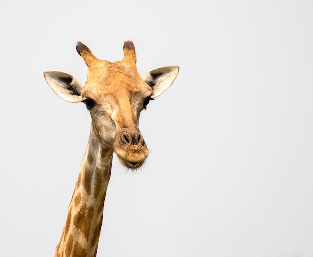 Imagem de uma cabeça de girafa. animais selvagens.