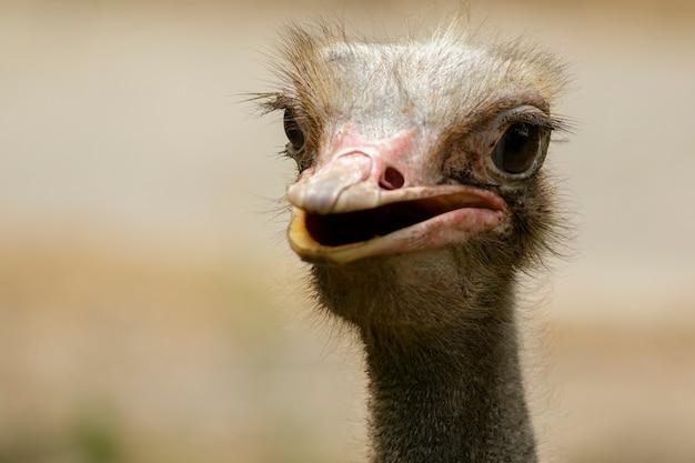 Imagem de uma cabeça de pássaro de avestruz na natureza. animais de fazenda. pássaro.