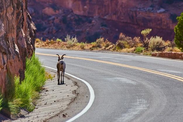 Imagem de uma cabra de empréstimo em uma estrada ventosa ao lado de penhascos no deserto