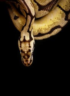 Imagem de uma jibóia no preto. réptil. animais selvagens.