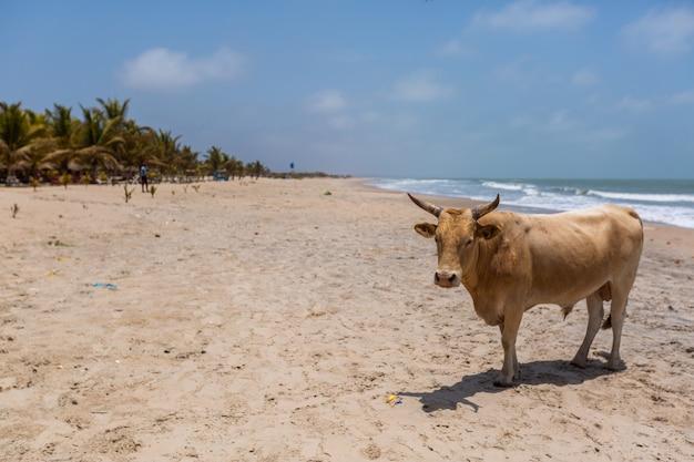 Imagem de uma vaca em uma praia cercada por mar e vegetação sob um céu azul na gâmbia