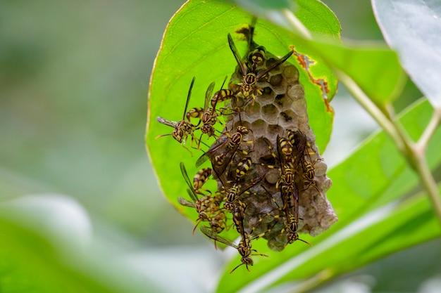 Imagem de uma vespa apache (polistes apachus) e um ninho de vespas. inseto animal
