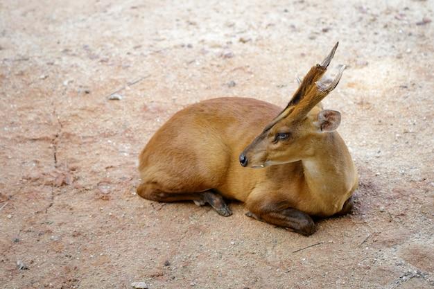 Imagem de veado latindo ou muntjac (muntiacini) relaxa no chão. animais selvagens.