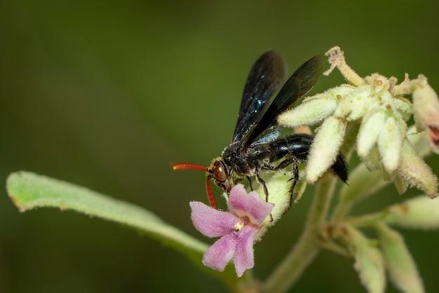 Imagem de vespas-aranha comendo néctar de flores. inseto.