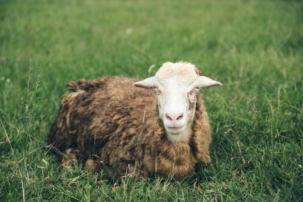 Imagem do close up de ovelhas no campo de grama verde na fazenda rural