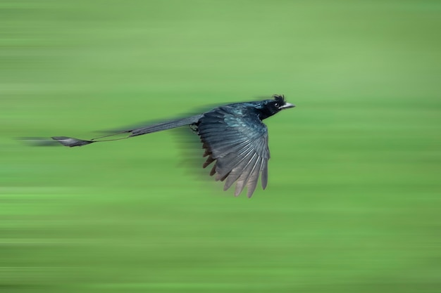 Imagem do drongo de cauda raquete maior voando no fundo da natureza. pássaro. animais.