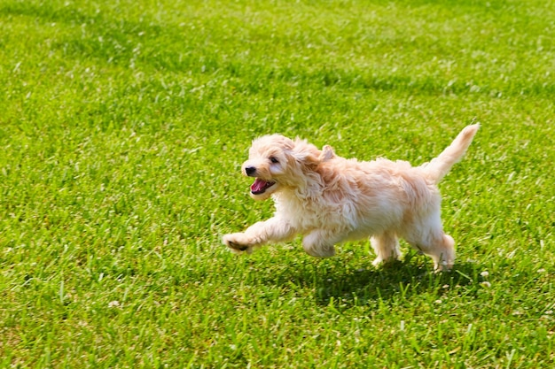 Imagem do golden retriever correndo pela grama