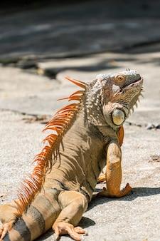 Imagem do lado direito de um iguana macho desenvolvendo uma coloração laranja para vermelho alaranjado para a temporada de reprodução