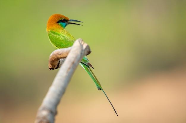 Imagem do pássaro abelharuco (merops orientalis) em um galho de árvore no fundo da natureza. pássaro. animais.