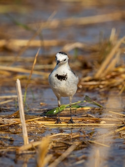 Imagem do pássaro branco da alvéola (motacilla alba) na natureza. aves. animal.