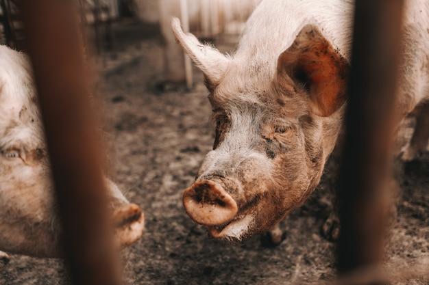 Imagem do porco sujo que está na lama na costa. conceito de criação de porcos.