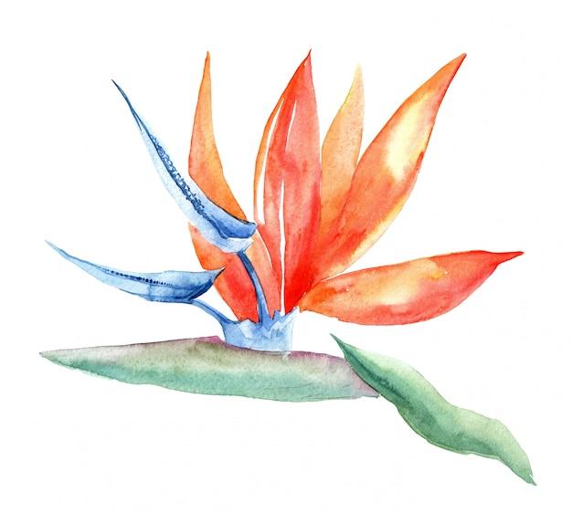 Imagem em aquarela de strelitzia reginae