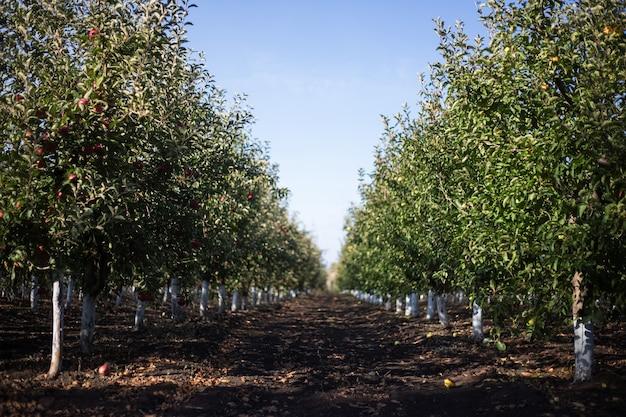 Imagem em perspectiva do jardim de macieiras em um dia ensolarado de outono.
