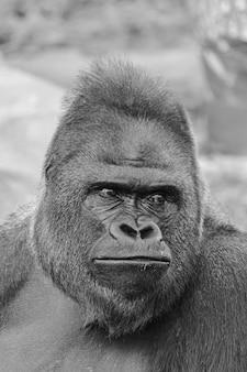 Imagem em preto e branco de um homem adulto do gorila da planície ocidental, retrato do rosto (gorila gorila gorila)