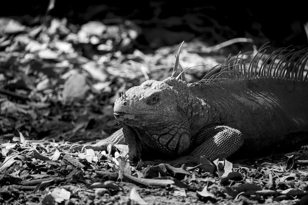Imagem em tons de cinza de uma iguana descansando após comer no