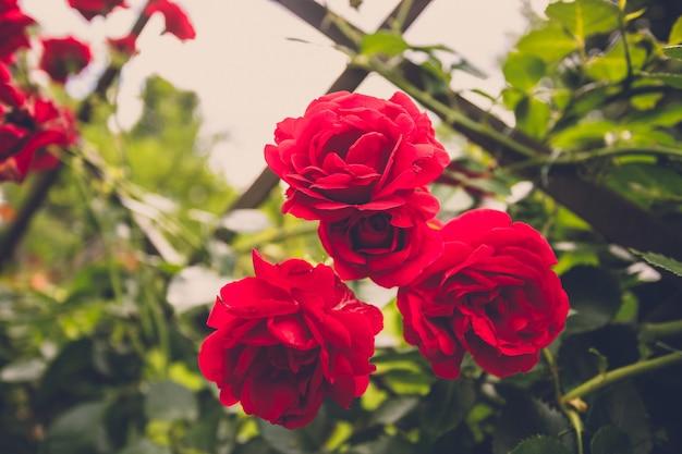 Imagem em tons de close de lindas rosas vermelhas na cerca do jardim