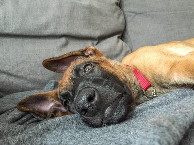 Imagem engraçada de pastor belga, malinois, filhote de cachorro descansando dentro