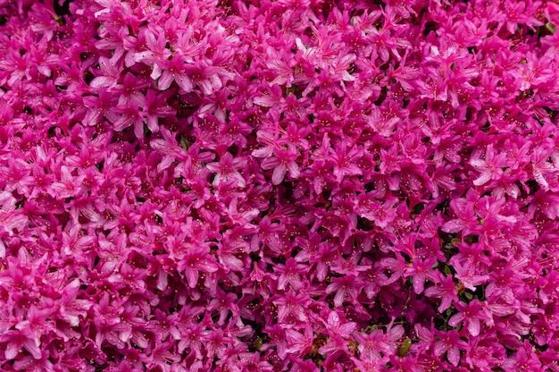 Imagem hipnotizante de flores cor de rosa