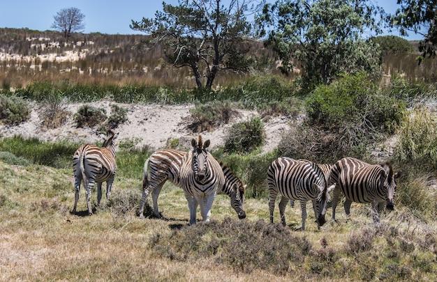 Imagem horizontal de algumas zebras pastando em pastagens sob um céu claro