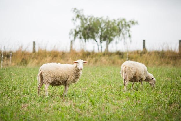 Imagem horizontal de duas ovelhas brancas andando e comendo grama em um campo durante o dia