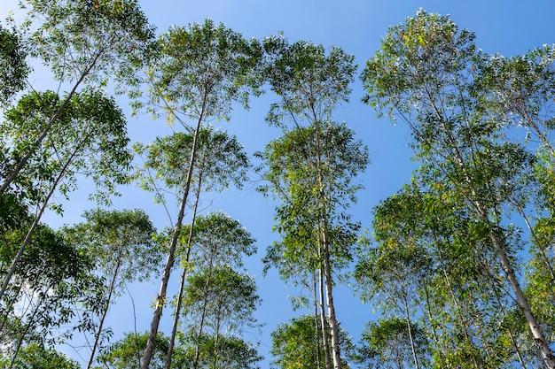 Imagem horizontal de plantação de eucalipto