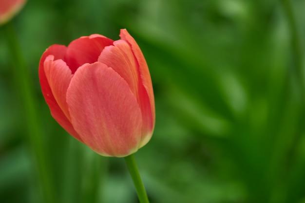 Imagem macia da tulipa vermelha bonita. cartão para woomen com copyspace para seu texto