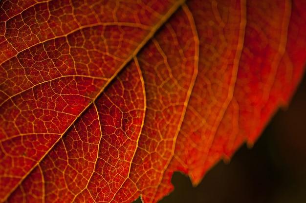 Imagem macro de uma folha vermelha sob as luzes contra um fundo preto