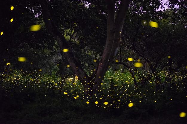 Imagem mágica do vaga-lume que voa na floresta da noite em tailândia