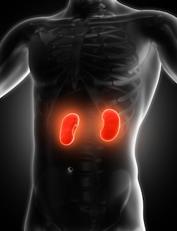 Imagem médica 3d mostrando os rins