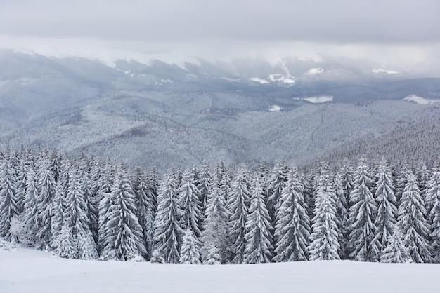 Imagem panorâmica da árvore de abetos vermelhos. dia gelado, cena invernal calma. localização carpathian, ucrânia europe. estância de esqui. ótima foto da área selvagem. explore a beleza da terra. turismo. feliz ano novo