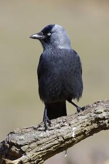 Imagem vertical de um corvo negro em um galho