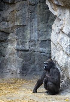 Imagem vertical de um gorila sentado no chão cercado por pedras em um zoológico