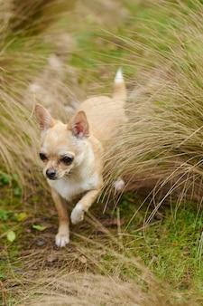 Imagem vertical de um pequeno chihuahua correndo no campo