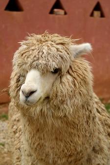 Imagem vertical de uma alpaca castanho claro na aldeia de chinchero, urubamba, região de cusco, peru