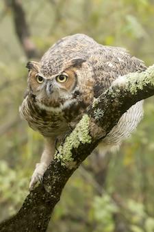 Imagem vertical de uma grande coruja com chifres em um galho de árvore