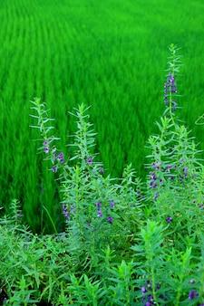 Imagem vertical do arbusto da alfazema com campo de almofada borrado no fundo