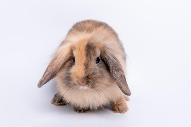 Imagens de retrato de coelho gordo, pêlo marrom e orelhas de logon que olhos brilhantes