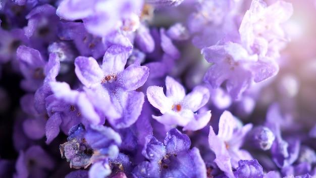 Imagens em close-up ou macro de buquê de lavanda no japão, cujo frescor colorido floresce