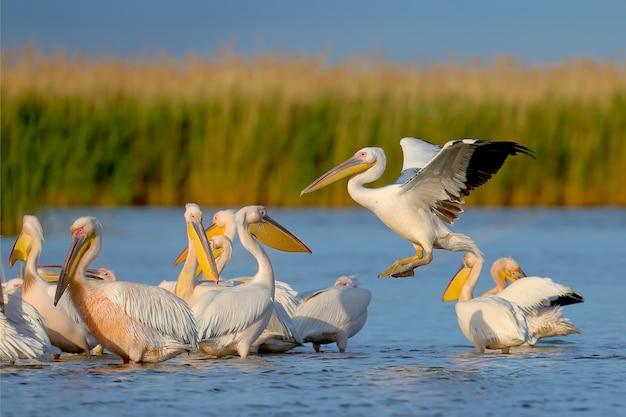 Imagens individuais e de grupo do grande pelicano branco (pelecanus onocrotalus) em habitat natural.