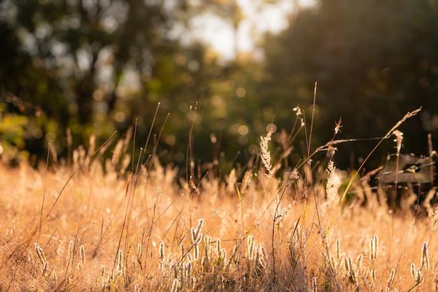 Imagens macias borradas da flor da grama que refletiram a luz solar na manhã.