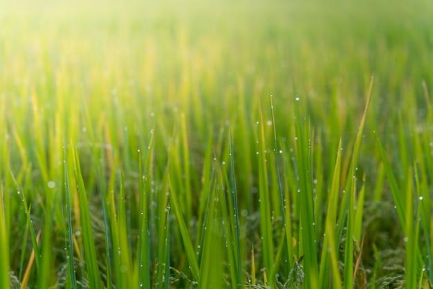 Imagens suaves borradas da água do orvalho em cima das folhas de arroz com o sol da manhã