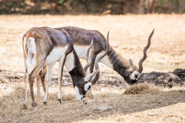 Impala com longos chifres em pé no chão seco