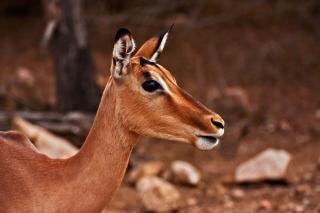 Impala fêmea safari