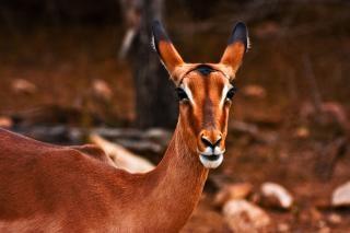 Impala fêmea-se