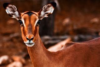 Impala fêmea sépia